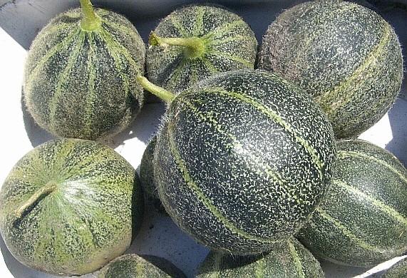 Melons Et Past 232 Ques Semences Solana