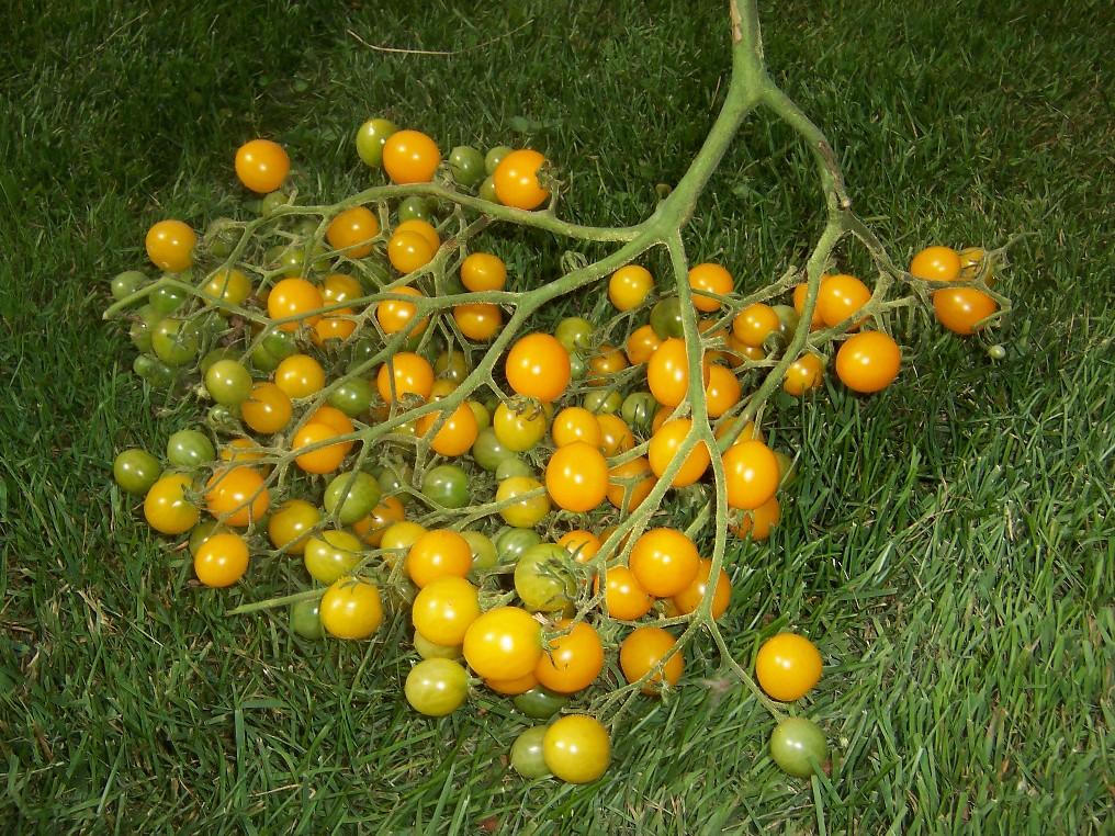 Tomates 2010 de tomodori le suivi de vos semis 2010 for Plants de fleurs