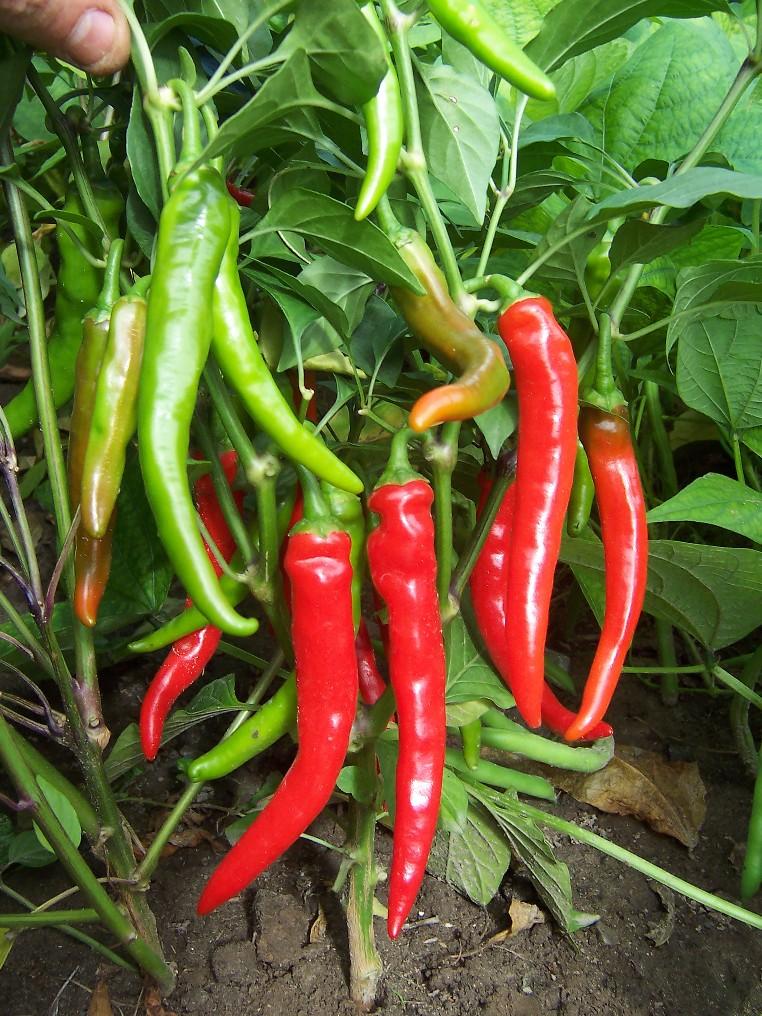 Piments forts et d coratifs semences solana - Piment de cayenne culture ...