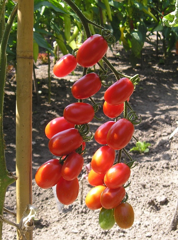 Tomatoes A To C Solana Seeds