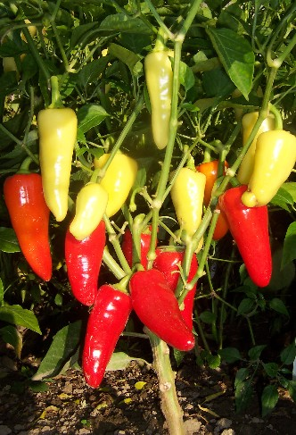 Hot Peppers Solana Seeds