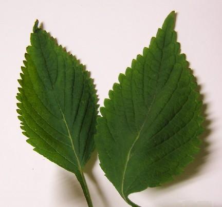 Chervis (Sium sisarum) et autres plantes oubliées. - Page 2 Shiso99