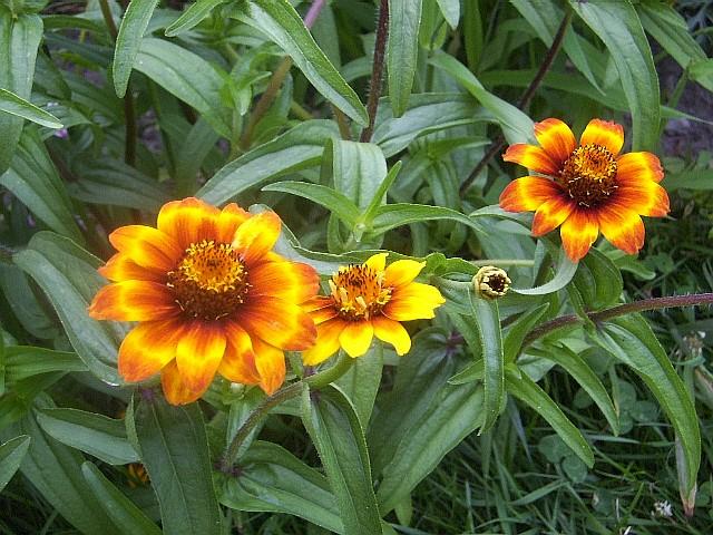Fleurs M Z Semences Solana